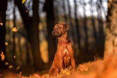 Hund Rhodesian Ridgeback sitzt aus den Grund Fallender Herbst Lizenzfreies Stockbild
