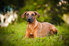 Hund Ridgeback som ligger på gräset Arkivfoton
