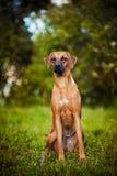 Hund Ridgeback som sitter på gräset Fotografering för Bildbyråer