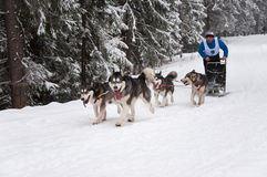 Hund-Rodeln Lizenzfreies Stockfoto