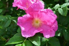 Hund-ros blomma Arkivbild
