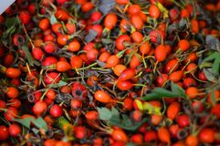 Hund-ros frukt! Växter royaltyfria bilder