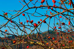 Hund-ros och blå himmel Arkivbilder