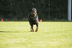 Hund Rottweiler som kör med sorteringpinnen i hans mun Royaltyfri Bild