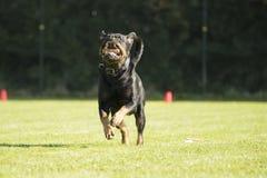Hund Rottweiler som kör med sorteringpinnen i hans mun Fotografering för Bildbyråer