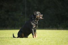Hund Rottweiler som sitter på gräs Arkivfoto