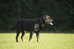 Hund Rottweiler som står på gräs Arkivfoton