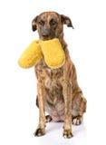 Hund rymma häftklammermatare i mun På vitbakgrund Royaltyfri Bild
