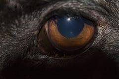 Hund-` s Auge stockbilder