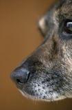 Hund-` s Nase Lizenzfreie Stockfotos