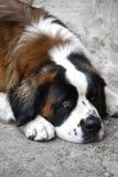 Hund Sans Bernardo an der Straße Lizenzfreies Stockbild