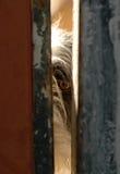 Hund schützt das Auge hinter einer Tür Stockbild