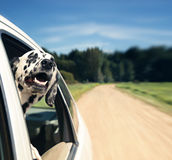 Hund schaut aus Autofenster heraus stockfotografie
