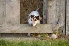 Hund schaut aus einer Scheune heraus Jack Russell Terrie 12 Jahre alt stockfotografie