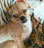 Hund schaut die Gläser, die besser als ihr Mensch sind lizenzfreie stockbilder