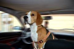 Hund schaut zurück im Auto Stockbilder