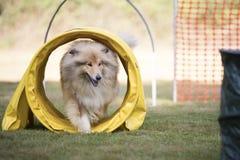 Hund, schottischer Schäferhund, Ausbildungsböttcher Lizenzfreies Stockbild