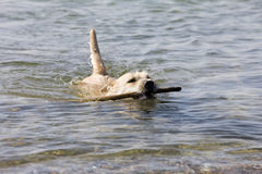 Hund - Schwimmen Stockfotografie