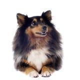 hund shetland royaltyfri fotografi