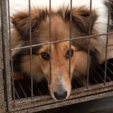 Hund Shetland fårhund arkivbilder