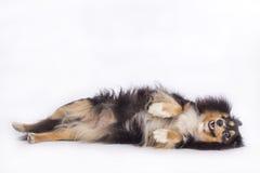 Hund Shetland fårhund arkivbild