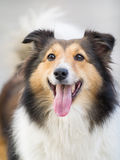 Hund shetland fårhund, collie arkivfoto