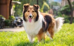 Hund Shetland fårhund, collie, sheltie Royaltyfri Foto