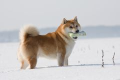 Hund Shiba Inu mit Spielzeug Stockfotografie