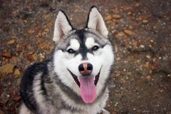 Hund Sibirischer Schlittenhund Der sibirische Husky hagelt von beträchtliche schneebedeckte Ausdehnungen von Sibirien In den Ader lizenzfreie stockfotos
