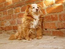 Hund sitzt nahe Backsteinmauer stock video footage
