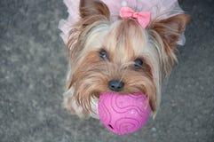 Hund som är gullig, boll, rosa färg, pilbåge, lek, djur som är roligt, grå färg arkivfoton