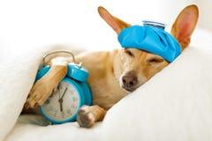 Hund som är sjuk eller dåligt i säng royaltyfri fotografi