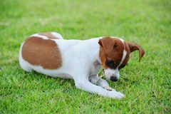 Hund som äter gräs Royaltyfria Bilder