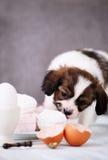 Hund som äter marshmallower Royaltyfri Foto