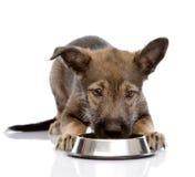 Hund som äter mat från maträtt bakgrund isolerad white Arkivfoto