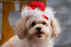 Hund som bär den röda hatten Arkivbild