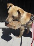 Hund som bär det dagliga brödhemmet royaltyfri fotografi