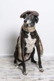Hund som bär det plana locket Royaltyfria Foton