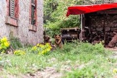 Hund som bevakar ett gammalt hus Fotografering för Bildbyråer