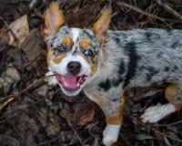 Hund som biter en pinne royaltyfria bilder