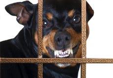 Hund som brummar vakten Arkivfoton