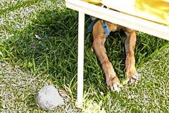 Hund som döljas ner stolen i en trädgård arkivfoton