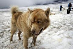 hund som dogsledding Royaltyfria Foton