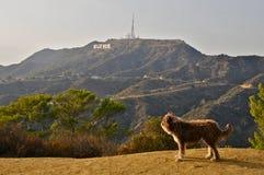 Hund som drömmer av Hollywood royaltyfria bilder