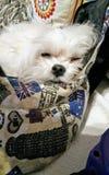 hund som drömmer på soffan arkivbild