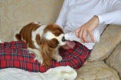 Hund som dricker yoghurt royaltyfria bilder