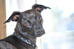 Hund som en kameramodell Royaltyfria Foton