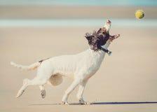 Hund som fångar bollen Arkivbild