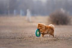 Hund som fångar flygskivan royaltyfri bild