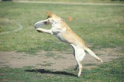 Hund som fångar Frisbeemitt--luft i den hund- Frisbeestriden, Westwood, Los Angeles, CA Arkivfoton